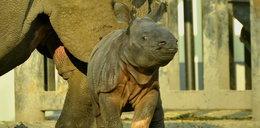 Nosorożec Byś ma godnego następcę