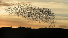 Austria: ptaki masowo spadały z nieba. Okazało się, że były... pijane
