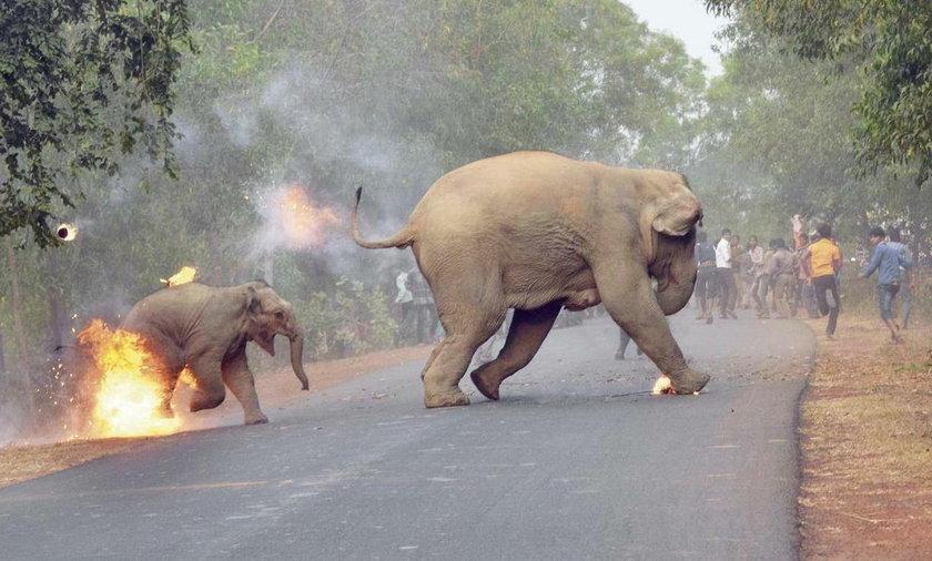 """Indie. Zdjęcie płonącego słoniątka zostało nagrodzone przez magazyn """"Sanctuary"""""""