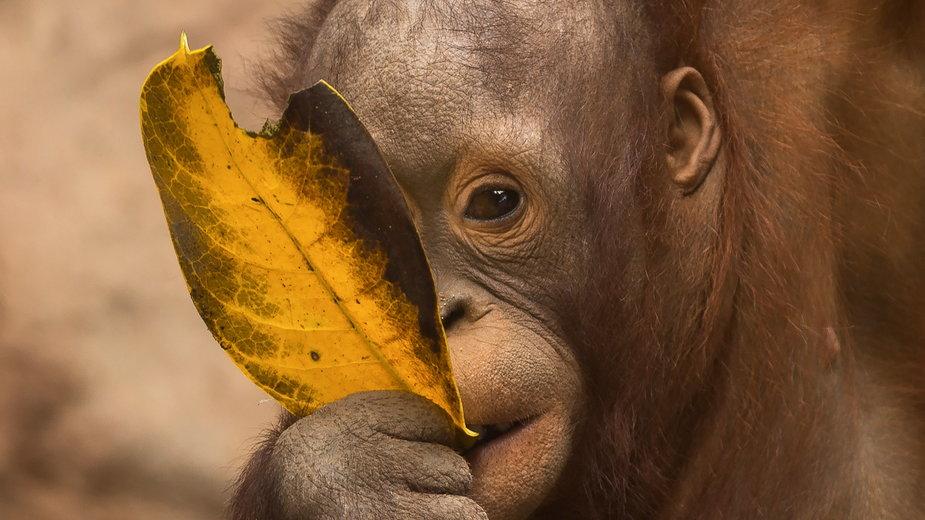 Orangutan z Borneo