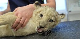 Małe lwiątko zachorowało. Pomogli lekarze z Wrocławia