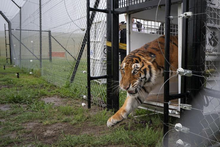 Gvatemala, spaseni lavovi i tigrovi