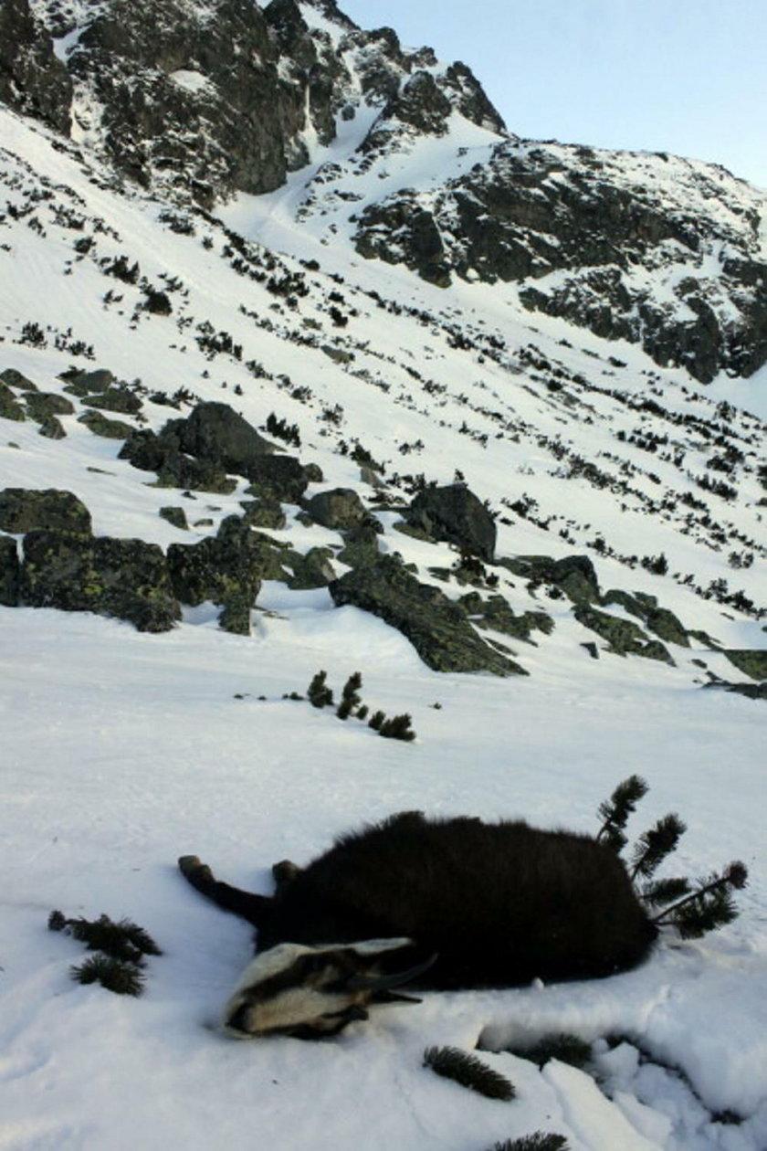 Katastrofa ekologiczna w Tatrach? Znaleziono dziesiątki martwych zwierząt