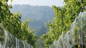 Winnice na Podkarpaciu przyjmują turystów - zwiedzanie, degustacje, przewodnik