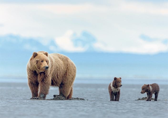 a medvék lefogynak, amikor hibernálnak