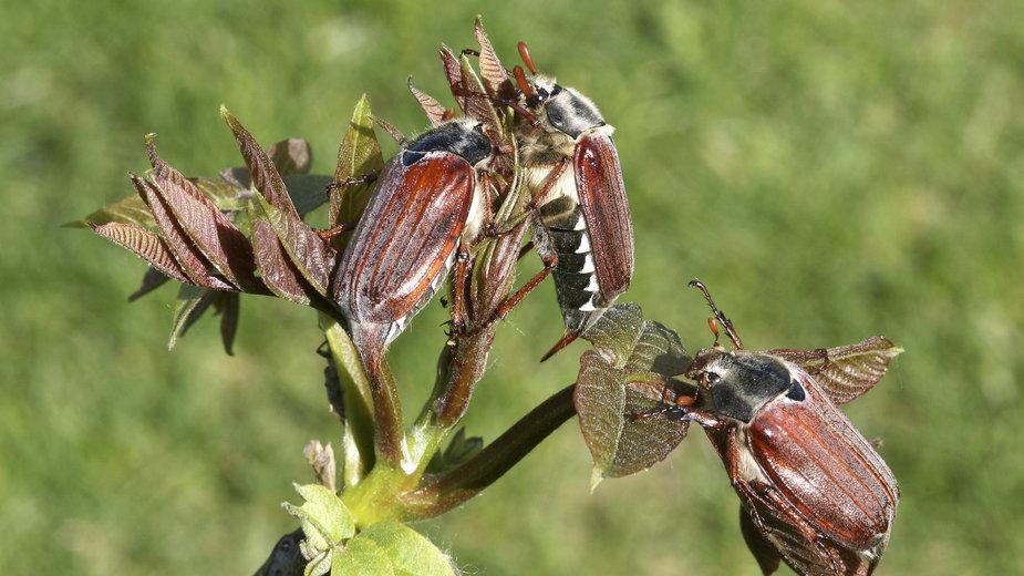 Chrabąszcz majowy niszczy rośliny ogrodowe - Margit Power/stock.adobe.com