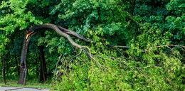 Drzewo przygniotło przechodnia w parku Kombatantów