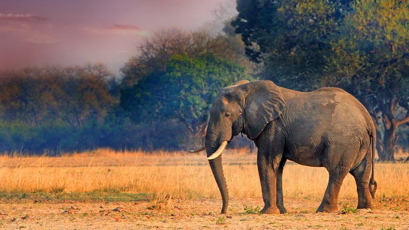 Słoń, Zambia