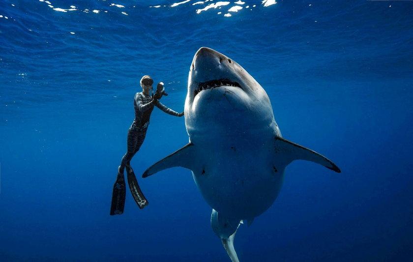 Legendarny żarłacz biały sfilmowany, jak pływa z nurkami