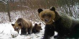 Wilki zaatakowały niedźwiedzie. Leśniczy ruszył z pomocą