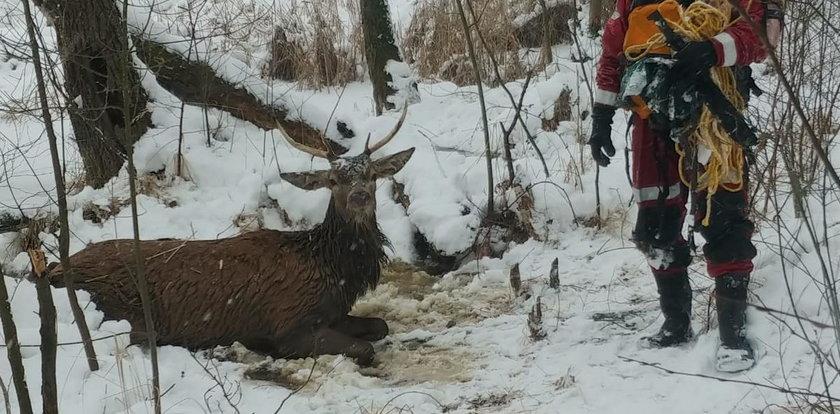 Lód załamał się po jeleniem