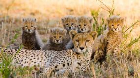 W ZEA nie będzie można posiadać dzikich zwierząt