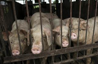 Ubój zwierząt pod stałym nadzorem kamery