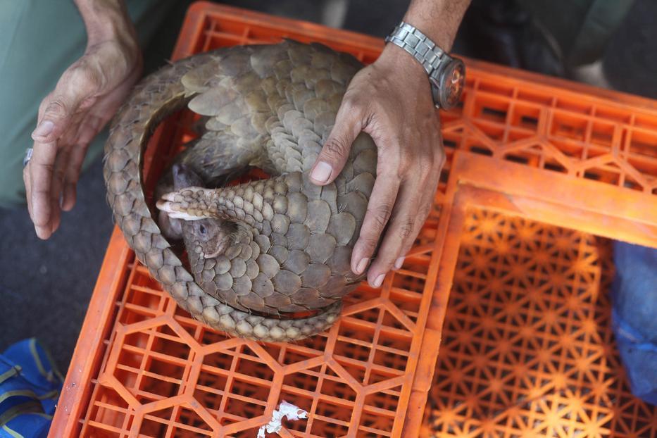 A tobzoska népszerű vadállat, van ahol a húsáért is keresik / Fotó: Northfoto