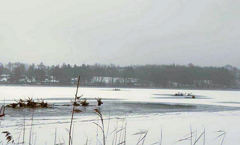 Chmara jeleni wpadła pod lód