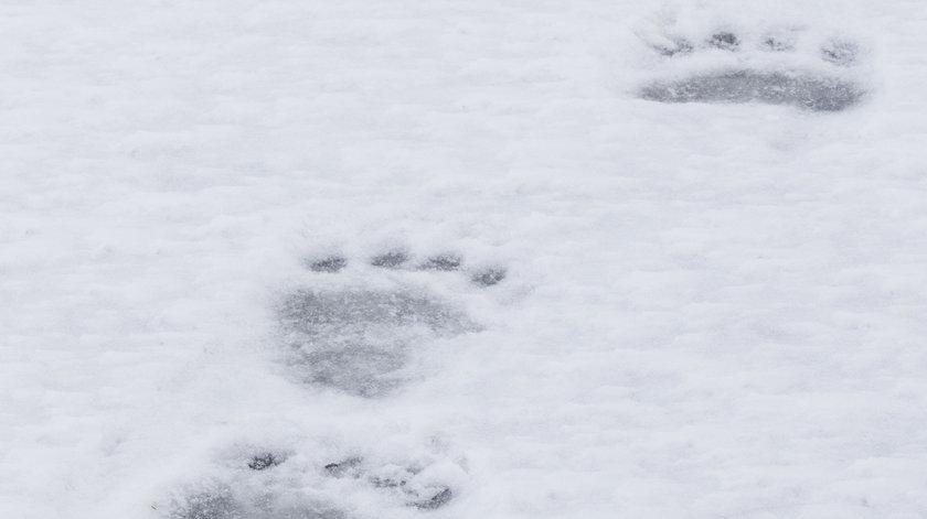 Ślady niedźwiedzia w Babiogórskim Parku Narodowym