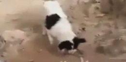 Bezpański pies chowa martwego szczeniaka WIDEO