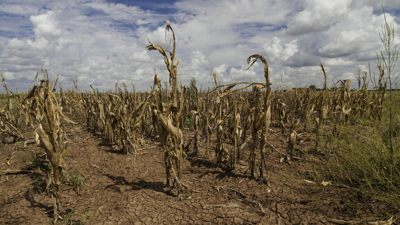 Crops dry out due to lack of rains