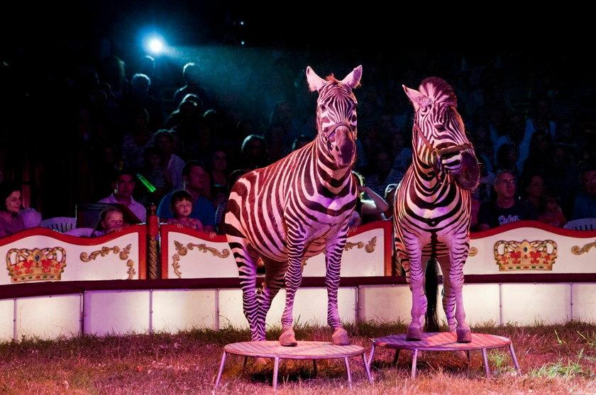 Tresowane zebry