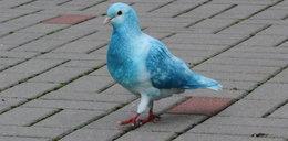 Mieszkańcy Kołobrzegu w szoku. To papugołąb?!