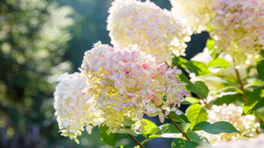 Hortensje to jedne z najpiękniejszych roślin ogrodowych - geshas/stock.adobe.com
