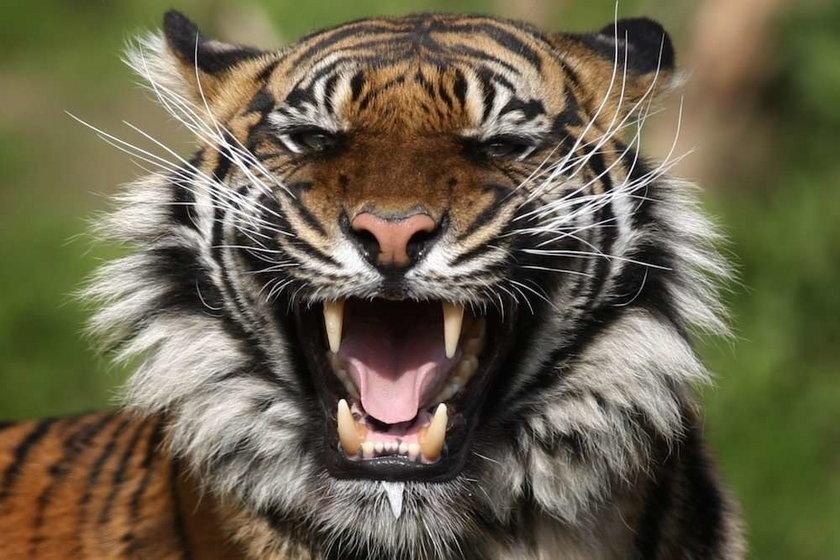 tygrys,zoo, warszawski ogród zoologiczny