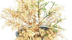 Czy można uratować przesuszone rośliny doniczkowe?