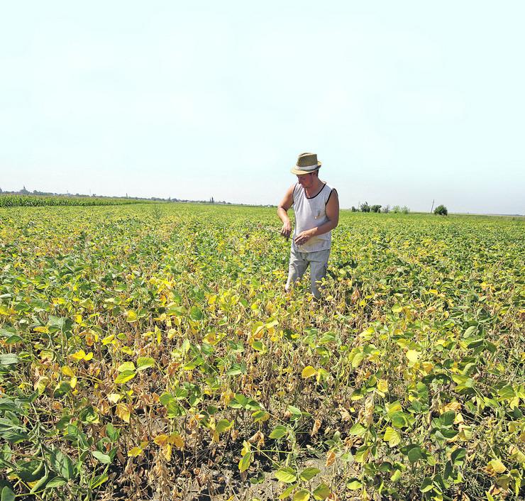 suša izgorelo biljke žitarice poljoprivrednik