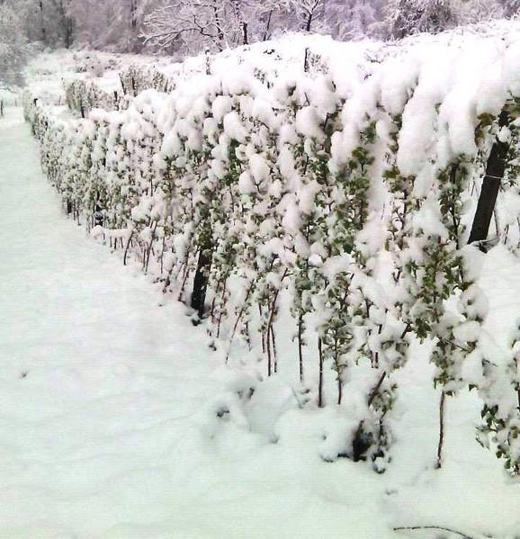 Malinjaci pod snegom