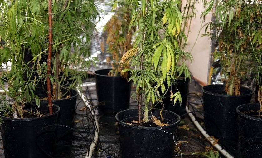 Na strychu urządzili sobie plantację marihuany