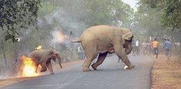 Zdjęcie płonącego słoniątka. Oto symbol ludzkiej podłości