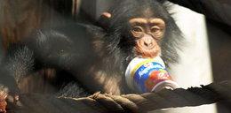 Ta małpka kocha jogurty