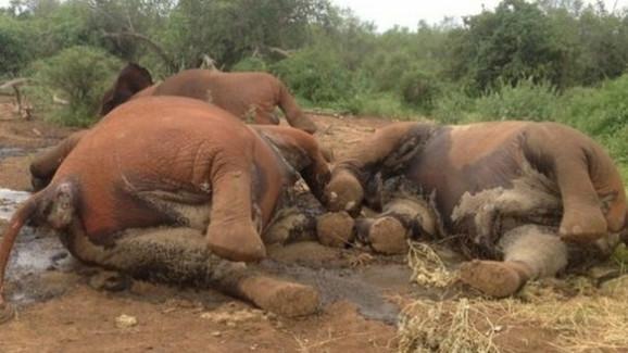Broj slonova u Africi se drastično smanjuje