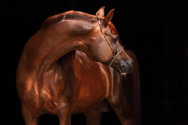 Stadnina Koni Michałów hoduje konie czystej krwi arabskiej od ponad 60 lat