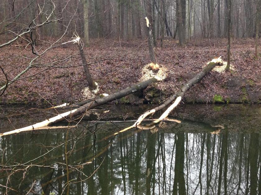 Ścięte drzewa w na kanale Ostródzko-Elbląskim w okolicy Ostródy