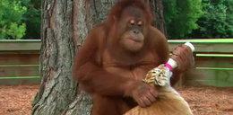 Zaczarował małpę w zoo. To co się potem stało...