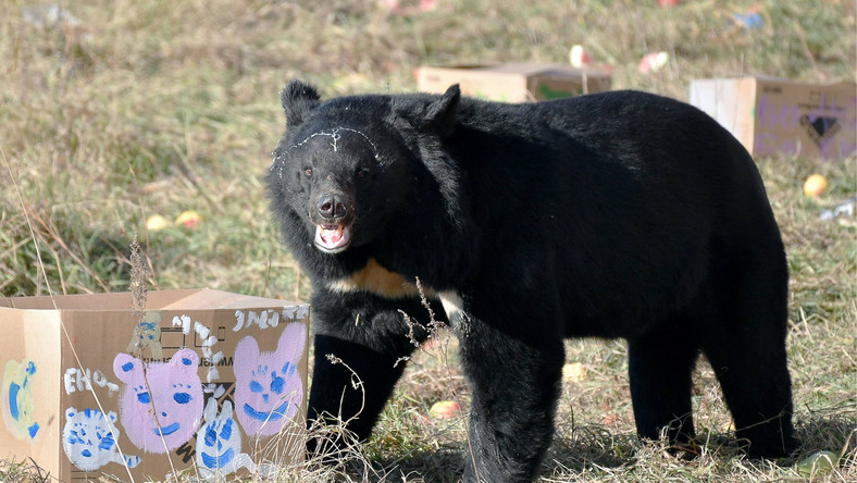 PRIMORYE TERRITORY, RUSSIA - OCTOBER 27, 2019: A bear kept at Kiparisovo, the first shelter for Asian black bears to open in Russia. Yuri Smityuk/TASS Dostawca: PAP/ITAR-TASS.
