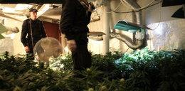 Od nasion do marihuany. Odkryto profesjonalną uprawę konopi