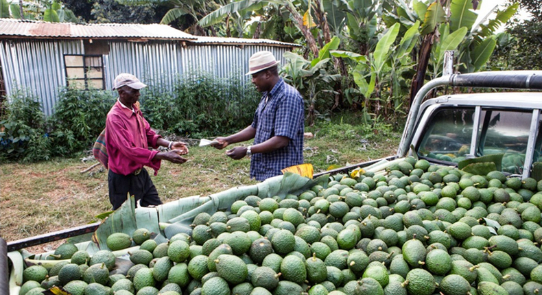 Over the past five years, avocado and macadamia have become choice crops for agricultural firms in Kenya.(Farmers#Trend)