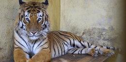 Transport grozy z żywymi tygrysami. Odsłonili szokujące kulisy