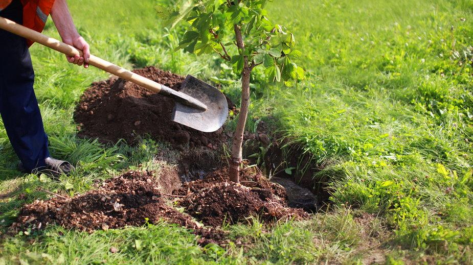 Sadzenie drzewa (zdj. ilustracyjne)