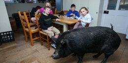 Zamiast na stół, trafiła do kochającej rodziny. Dziś waży prawie 130 kg i rządzi domem!