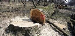 Ile zapłacisz kary za wycięcie drzewa? Zmiana przepisów