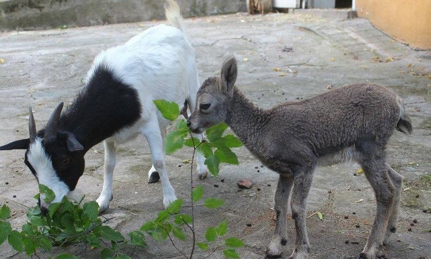 Gracja ma zastępczą mamę. Małym nahurem zajęła się koza karłowata. Młode zwierzę zostało porzucone przez prawdziwą matkę zaraz po narodzinach.