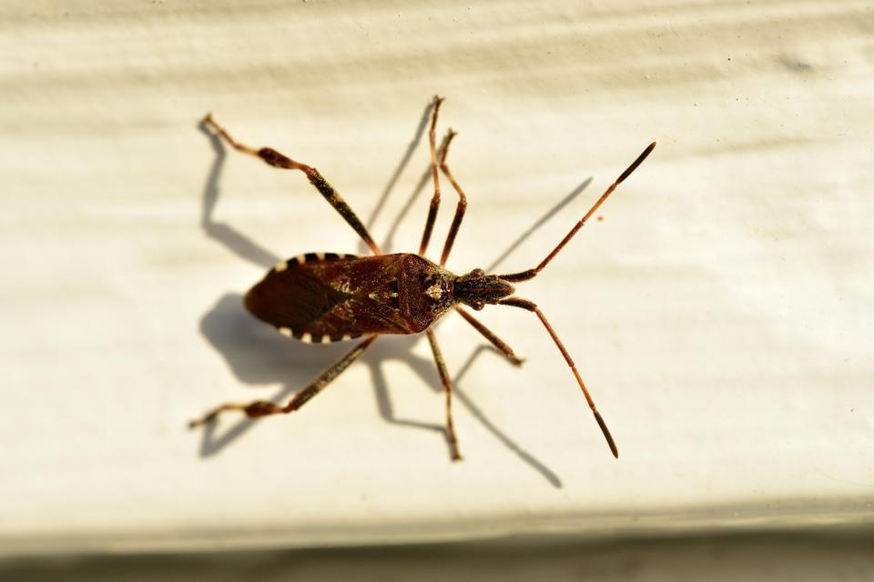 Inwazja śmierdzących owadów w Polsce! Uważajcie, wciskają się do domów i mieszkań