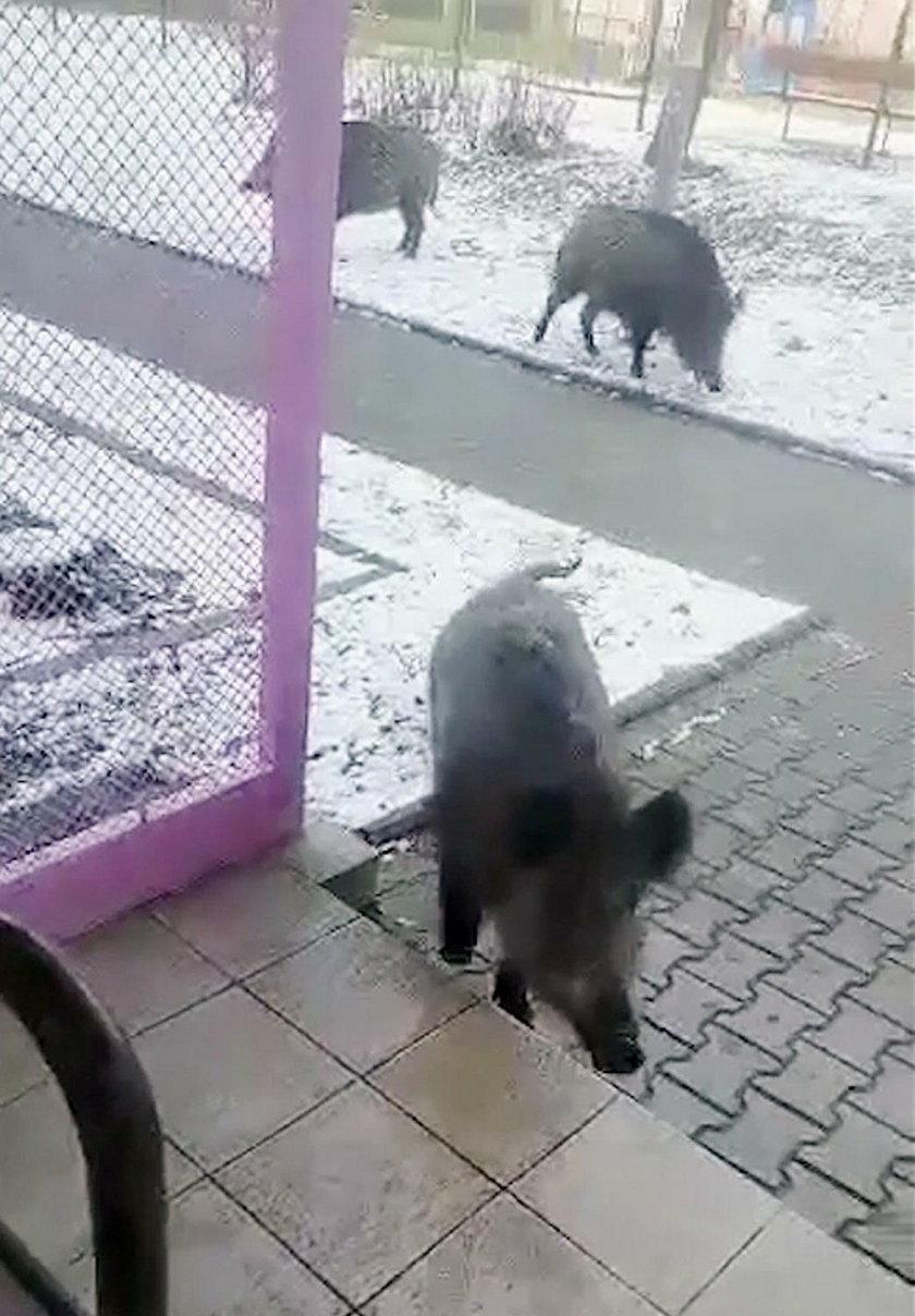 Dziki zaatakowały dostawcę. Chciały pożreć pizzę