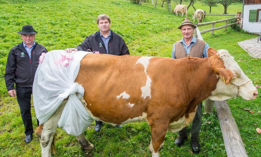Niemieckie krowy w pieluchach