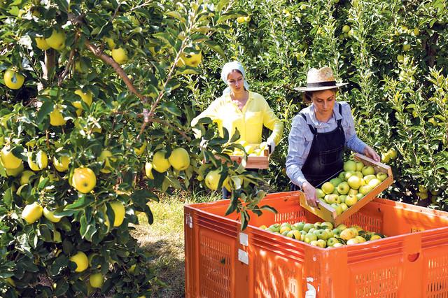 Jabuka će ove godine ostvariti rekord. Prinosi pojedinih su veći od 50 t po ha.  Prosečna izvozna cena za trećinu je veća nego lane