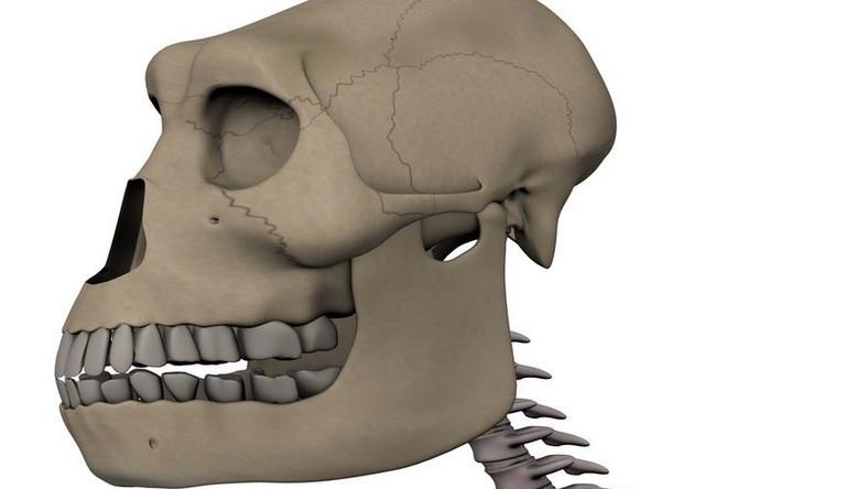 Australopiteki sprzed trzech milionów lat chodziły wyprostowane