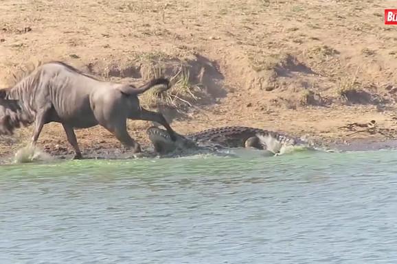 OBRAČUN ZVERI: Krokodil je ščepao svoj plen, a onda se pojavio spasilac